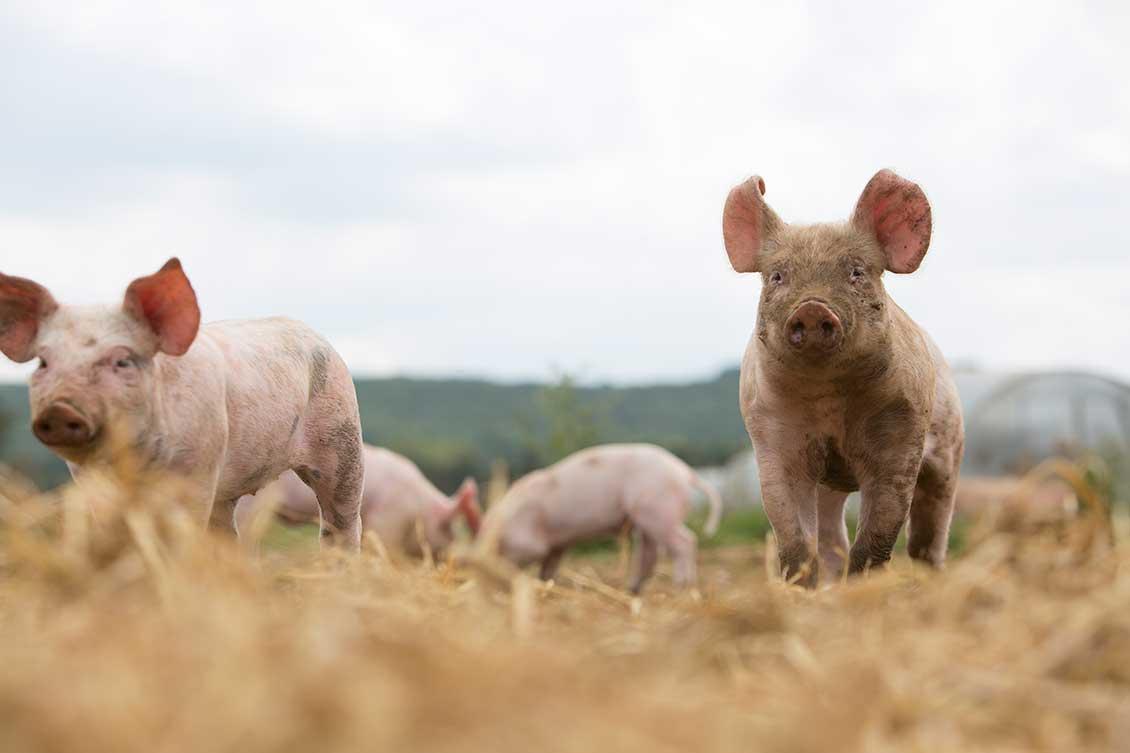 brydock_pigs5