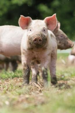 brydock_pigs