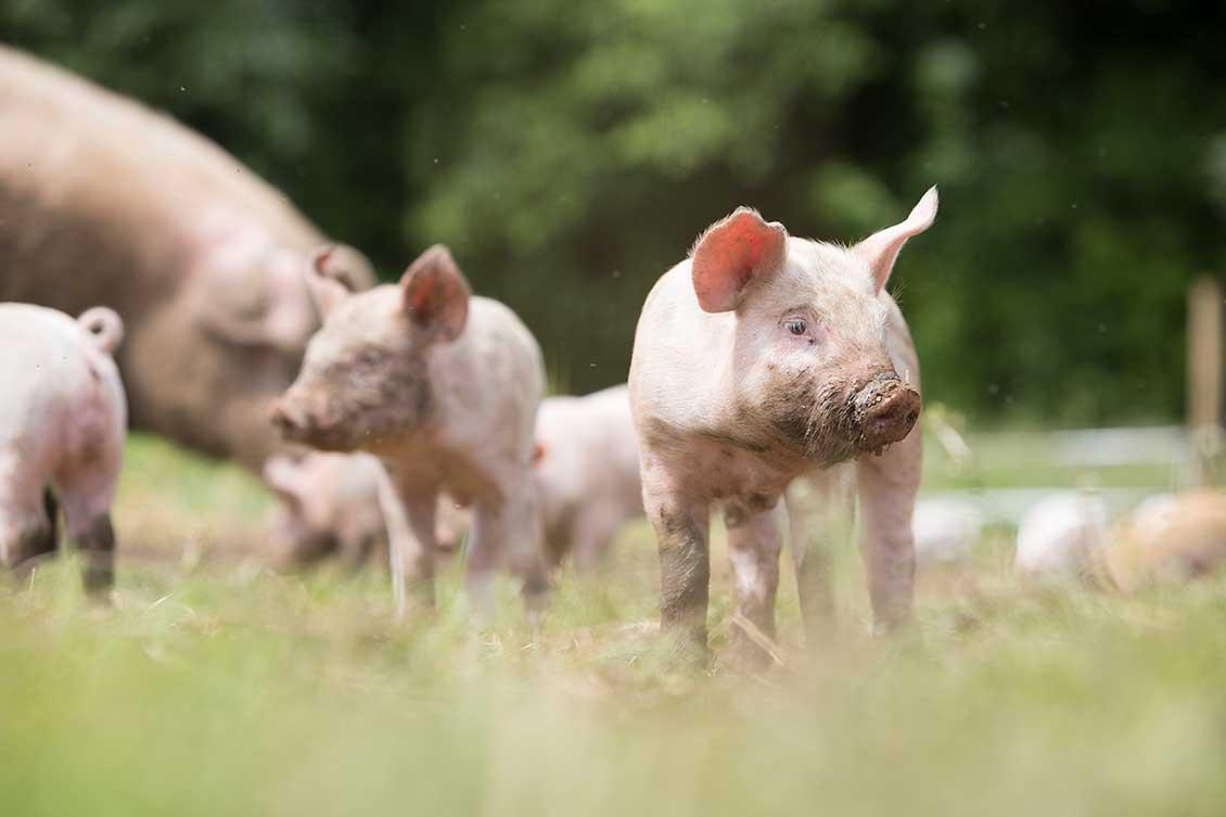 brydock pigs