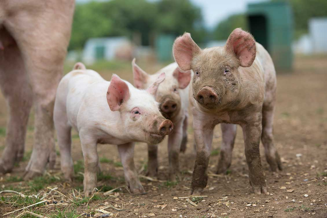 brydock_pigs4
