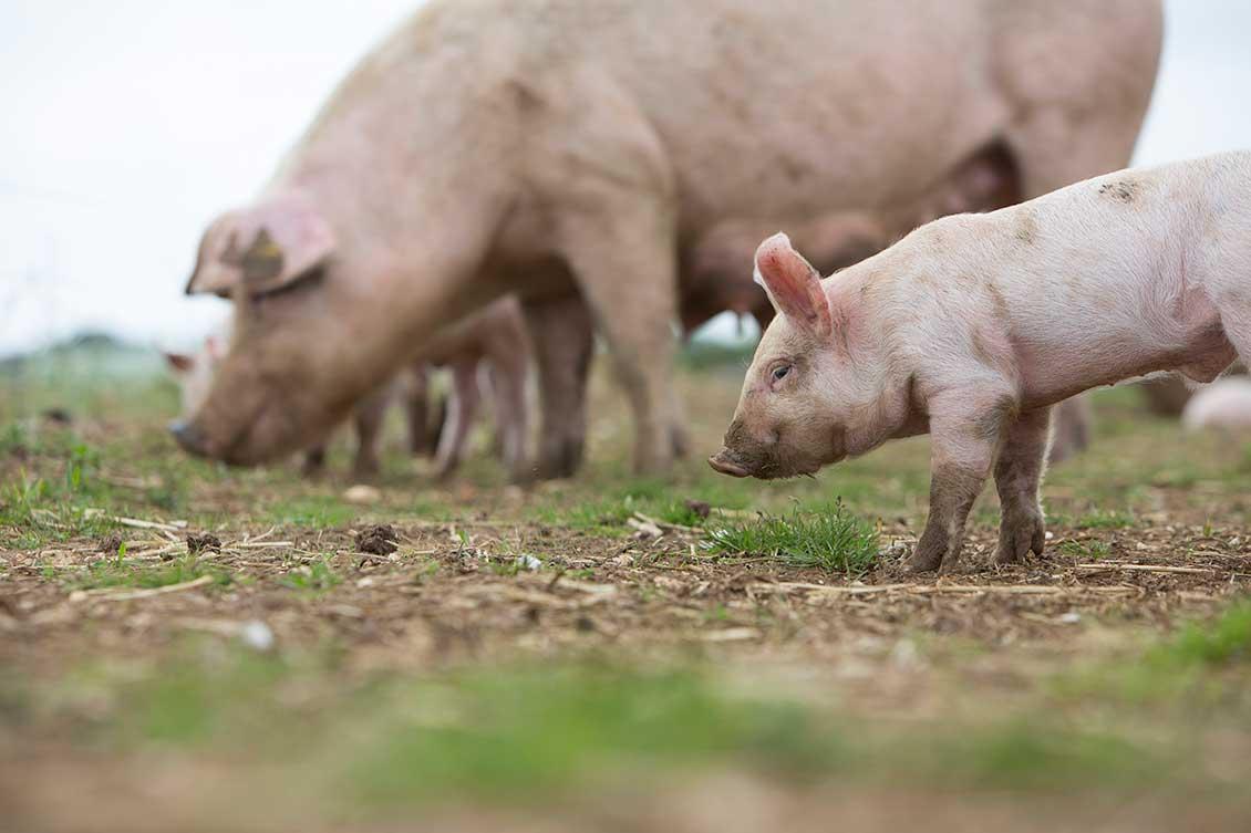 brydock_pigs6